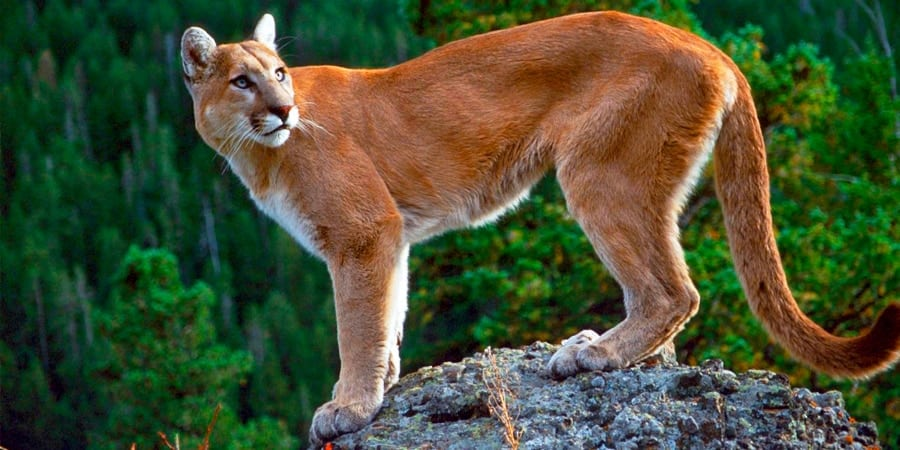 puma-concolor-do-leste • Voyager
